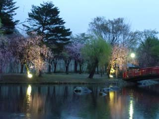 中央公園夜桜のライトアップ