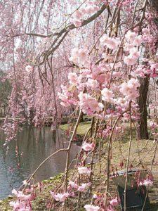 2018年4月 桜、咲きましたよ。